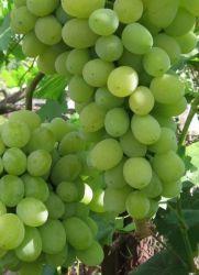 Виноград кеша описание сорта фото