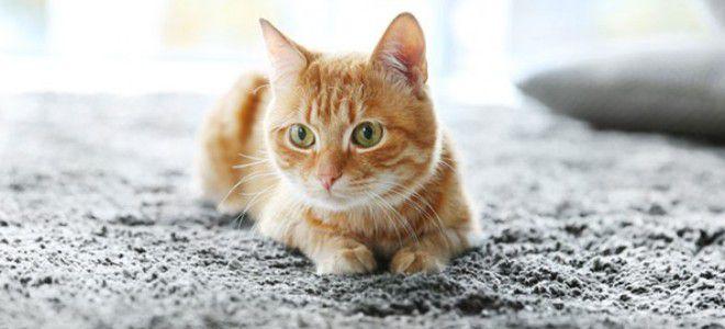 Чем удалить запах кошачьей мочи с ковра