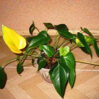 Антуриум желтеют листья. Почему и что делать
