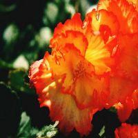 Бегония клубневая посадка и уход в саду