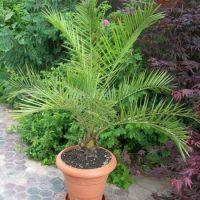 Как ухаживать за финиковой пальмой