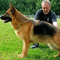 Как определить немецкую овчарку щенка