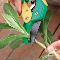 как обрезать азалию после цветения