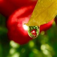 курчавость листьев верхушки томатов