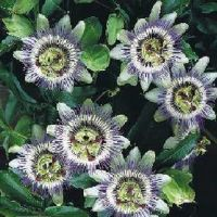 Пассифлора, или страстоцвет уход и посадка в домашних условиях