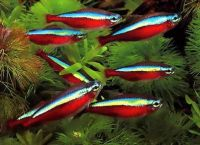 Рыбки неоны содержание