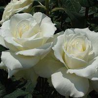 символ любви цветок