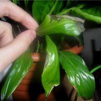 Почему у спатифиллума чернеют кончики листьев