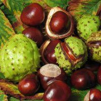 Как посадить каштан из ореха в 95