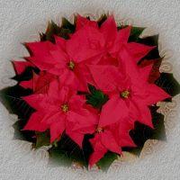 как заставить цветсти рождественскую звезду