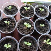 Левкой выращивание из семян. Особенности выращивания левкоя седого