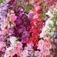 Цветок пенстемон фото