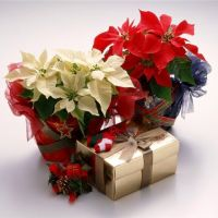 Цветок «рождественская звезда» - уход