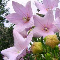 Платикодон выращивание из семян, посадка и особенности ухода