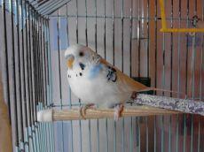 Жердочки для попугаев своими руками