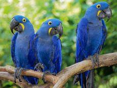какой попугай самый большой