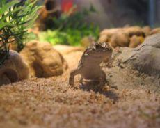 Ящерица держать в домашних условиях