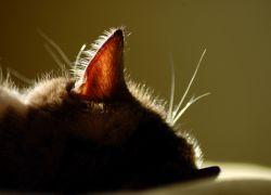 Ушные капли для кошек