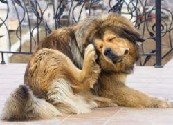Укус клеща у собаки