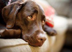 Черный цвет кала у собаки