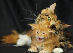 КОШКА (СОННИК) К чему снятся кошки   Razgadamus ru
