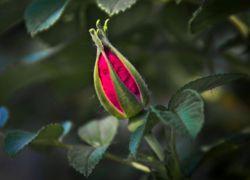 Почему не распускаются бутоны у розы