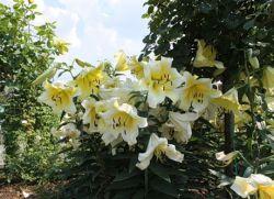 Можно ли пересаживать лилии летом
