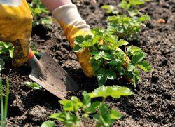 Земляника садовая посадка и уход осенью
