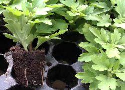 Хризантемы посадка и уход в открытом грунте