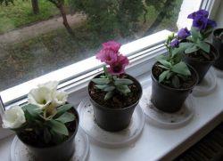 Эустома выращивание и уход в домашних условиях