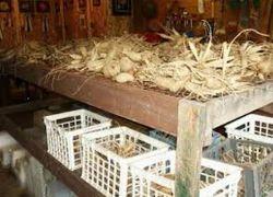 Хранение клубней георгинов зимой в погребе