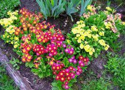 Примула садовая многолетняя