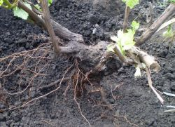 Когда лучше пересаживать виноград