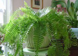 Семя папоротника. Размножение загадочного зеленого красавца