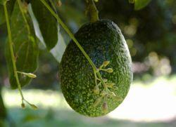 Авокадо как растет
