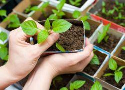 как посадить обриету на рассаду