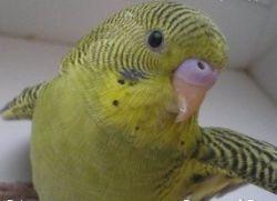 Как узнать возраст попугая