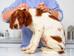 У собаки шишка после укола что делать