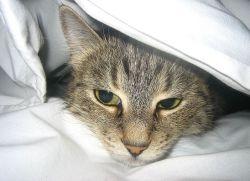 Шишка у кошки на животе