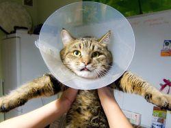 Последствия уретростомии коту