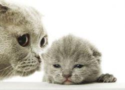 Вязка шотландских кошек по окрасу