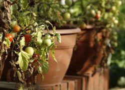 чернеют помидоры что делать