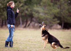 Как в домашних условиях тренировать немецкую овчарку