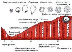 фолликулярная фаза какой день цикла
