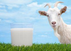 Как разводить козье молоко для грудничков