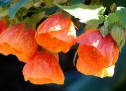 Абутілон з насіння в домашніх умовах