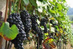 Как посадить виноград осенью саженцами