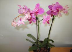 Что делать когда гибнет орхидея