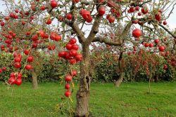 Удобрение для яблонь осенью