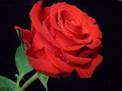 Как нарисовать поэтапно розу
